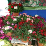 Kwiatowy asortyment firmy Syngenta Flowers