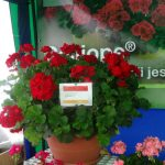 Pelargonia Calliope Red