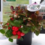 Gaultheria-procumbens_COLOUR-SURPRISE
