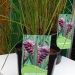 Miscanthus sinensis 'Boucle' - na zdjęciu pokazany wygląd kwiatostanów w pąku