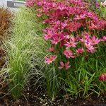 Carex comans 'Amazon Mist' i Coreopsis 'Limerock Passion' - ze szkółki Het Eyssel