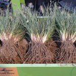 Pennisetum alopecuroides 'Little Honey' ze szkółki Marijnissen