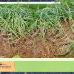 Carex-caryophyllea_The-Beatles