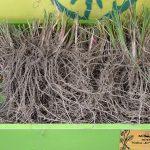 Miscanthus-sinensis_Yaku-Jima