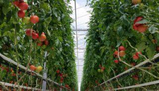 Grono malinowej odmiany pomidora Katy Rose