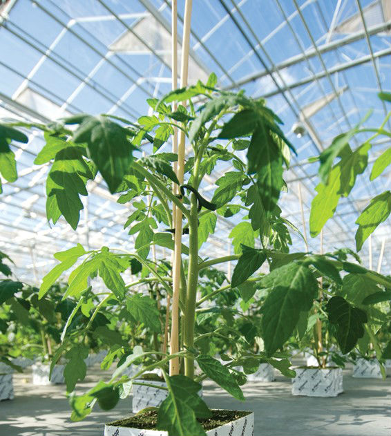 jednopędowa rozsada pomidora