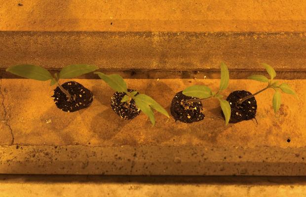 W jednej partii siewek mogą znajdują się 4 różne rodzaje roślin, siewki pomidodra, Clodano