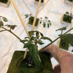 Rośliny uszczykiwane za drugim liściem z kędzierzawymi liśćmi, rozsada pomidora