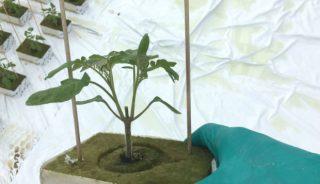 Szczepiona rozsada pomidora uszczykiwana za liścieniami