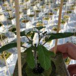 Rośliny uszczykiwane za liścieniami z fioletowym zabarwieniem pędu, rozsada pomidora, szczepiona rozsada pomidora
