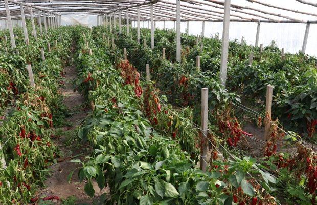 Uwiądy roślin powodowane przez patogeny znajdujące się w glebie mogą całkowicie zniszczyć plantację papryki