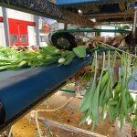 cebule tulipanow odcinane są od pędów firma Haakman (maszyna z firmy Havatec)