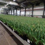Hala, do której przemieszczane są rośliny tulipana gotowe do zbioru (tu odmiana 'Strong Power') gospodarstwo Haakman