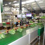 Końcówka linii technologicznej – pakowanie gotowych wiązek kwiatów tulipanów gospodarstwo Haakman