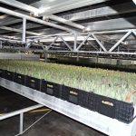Najniższa warstwa (z czterech) w pomieszczeniu, w ktorym odbywa sie pedzenie tulipanow gospodarstwo Haakman