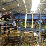 Praca ręczna (kontrola, rozdzielanie roślin) niezbędna jest na początku linii technologicznej z robotem Havatec do pakowania kwiatow tulipanow gospodarstwo Haakman