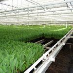 Szklarnia o powierzchni 5000 m2, w której odbywa się pędzenie tulipanów, gospodarstwo Haakman