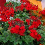 Pelargonium_Red Explosion_Florensis_IPM 2019