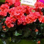 Pelargonium Calliope L Coral_Syngenta Flowers_IPM Essen 2019