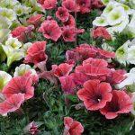 Petunia Potunia Coral_Dummen Orange_IPM Esen 2019