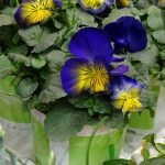 Viola x wittrockiana Cats 'Blue and Yellow'