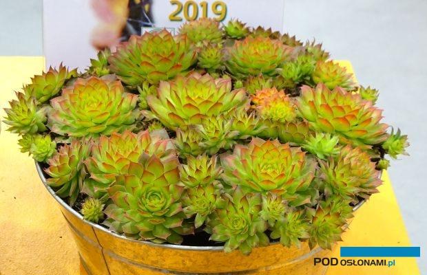 Na targach IPM Essen 2019 pokazano wiele roślin wieloletnich, w tym modne rojniki (Sempervivum) - tu odmiana Chick Charms® 'Gold Nugget', którą uznano za najciekawszą bylinę w targowym konkursie nowości, fot. A. Cecot