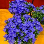 Campanula 'Midnight Blue Ocean'_IPM Essen 2019