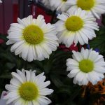 Chrysanthemum 'Sweet Daisy Jane'