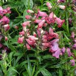 Penstemon 'Harlequin Red'_Vitroflora