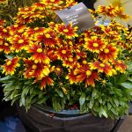 Coreopsis hybrida Up Tick 'Gold and Bronze' IPM Essen 2019