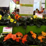 Begonia ×tuberhybrida - odmiany z grupy Limitless oferowane przez firmę Syngenta Flowers (a wyhodowane przez polskiego ogrodnika M. Wojtczaka, u którego występują pod nazwą MagicFlower_IPM Essen 2019