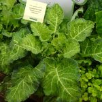 Brassica oleracea_Evercream_Kientzler_IPM Essen 2019