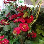 Truskawak_Fragaria ×ananassa_Summer-Breeze-Rose__IPM Essen 2019