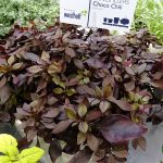Alternanthera_Choco-Chili_IPM 2019
