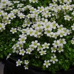 Saxifraga ×arendsii Ice Colours 'Pearl White'_IPM Essen 2019
