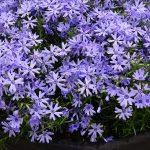 Floks szydlasty (Phlox subulata) Fabulous 'Blue Violet'_IPM Essen 2019