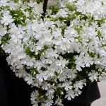 Phlox subulata Fabulous 'White'_IPM Essen 2019