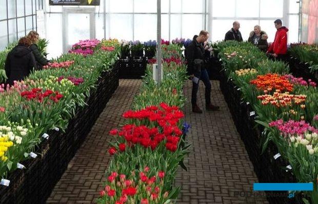 Tulip Trade Event to dni otwarte kilkunastu holenderskich firm oferujących cebule kwiatowe; w marcu prezentują setki odmian tulipana