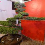 Pinus pentaphylla (za 13 000 €) z ekspozycji włoskiej firmy Nippontree_Myplant and Garden 2019