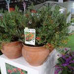 Grevillea 'Ignite' z ekspozycji firmy Floratoscana_Myplant and Garden 2019