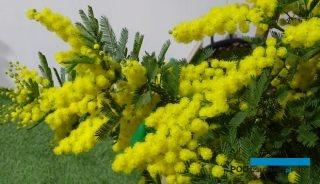 Mocnymi akcentami wczesnowiosennych targów Myplant & Garden 2019 w Mediolanie były typowe włoskie produkty, jak żółto kwitnące akacje, tzw. mimozy, fot. A. Cecot
