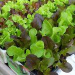 Rozsady-salaty na rynek detaliczny_OrtoMio_Myplant-and-Garden-2019