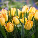 Tulipan 'Cape Town' (fot. D. Sochacki)
