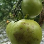 Wirus ToBRFV na pomidorach