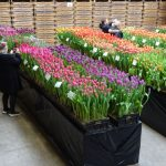 Tulip Trade Even 2019__BOOTS Flowerbulbs