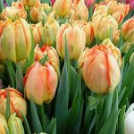 Tulipan Monte Orange_BOT Flowerbulbs_Tulip Trade Event 2019