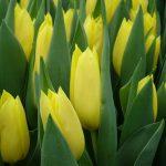 Tulipan Bolroyal Honey_P. Aker_Tulip Trade Event 2019