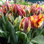 Tulipan Rasta Parrot_firma Jansen-s Overseas_Tulip Trade Event 2019