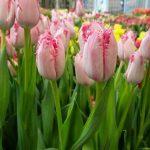 Tulipan Santander_firma Jansen-s Overseas_Tulip Trade Event 2019