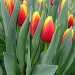 Tulipan Andre Citroen_P. Aker_Tulip Trade Event 2019